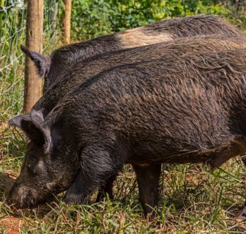 How to protect the crop against wild boar attacks?